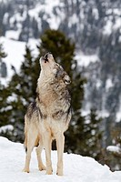 Grey Wolf Canis lupus adult, howling, standing in snow, Montana, U S A, january captive