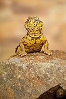 Geyrs Saharan Spiny_tailed Lizard Uromastyx acanthinurus geyri adult, standing on rock captive