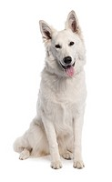 White Shepherd Dog 7 years old