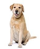 Labrador sitting 6 years old