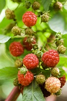 Raspberries ripening on bush (thumbnail)