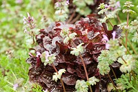 Merlot lettuce and herbs growing