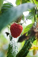 Raspberry growing on bush (thumbnail)