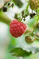 Raspberry ripening on bush
