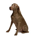 Old Weimaraner dog, 13 years old, sitting in front of white background