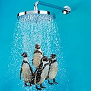 Penguins under shower