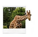 Photograph of giraffe, giraffe's head sticking out of photograph frame