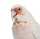 Long_billed Corella _ Cacatua tenuirostris