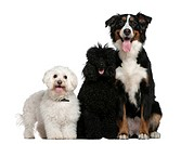Bichon frise, Poodle and Bernese mountain dog, 13 and a half years old, 10 months and 17 months old, sitting in front of white background