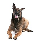 Belgian Shepherd Dog Malinois 2 years old