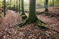Forest in autumn, Regil, Guipuzcoa, Basque Country, Spain