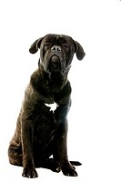 Cane Corso, Dog Breed from Italy, Adult Sitting Against White Background