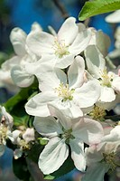 Apple Blossom detail