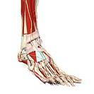 Muscles and neurovascular structures of the foot and ankle
