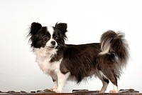 Long_haired Chihuahua