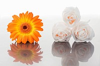 White roses and orange gerbera on a mirror against a white background