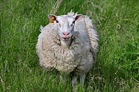Domestic sheep Ovis aries in meadow shedding wool, Belgium