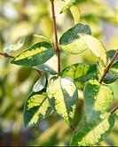 Trachelospermum asiaticum Summer