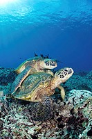 Hawaii, Maui, Several green sea turtles Chelonia mydas gather at a cleaning station on the reef
