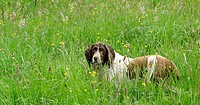 Springer Spaniel in a meadow.