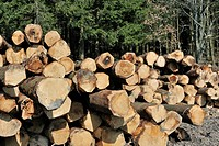 Wood pile of cut timber from pine forest in the Ardennes, Belgium