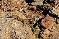 Tyrrhenian Wall Lizard, Female, Podarcis tiliguerta, Corsica / Tyrrhenische Mauereidechse, Weibchen, Podarcis tiliguerta, Korsika