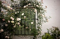 Pink roses decorate a window in El Gastor village in the Sierra de Grazalema Natural Park, Cadiz province, Andalusia, Spain, april 25, 2011