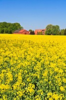 Farmhouse in a field of rape in Lower Saxony, Germany, Europe