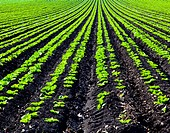 Rows of Planted Crops