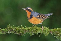 Varied Thrush Ixoreus naevius perched on a branch in Victoria, BC, Canada.