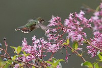 Scintillant Hummingbird Selasphorus scintilla flying and feeding at a flower in Costa Rica.