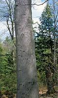 Claw Marks Black Bear on American Beech Fagus grandifolia Tree, Ontario, Canada.