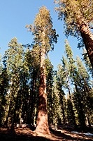 General Sherman Tree trail in Sequoia National Park, California