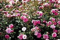 Germany, View of pink bed rose plant