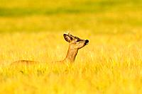 Roe buck in barley field, Capreolus capreolus, Hessen, Germany, Europe