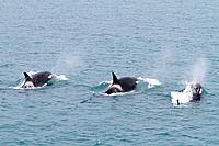 A small pod of killer whales Orcinus orca off the coast of South Georgia Island in the Southern Ocean  MORE INFO Killer whales are found in all oceans...