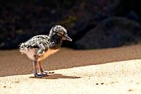 American oystercatcher Haematopus palliatus galapagensis chick along the shoreline on Bartolome Island in the Galapagos Island Group, Ecuador  MORE IN...