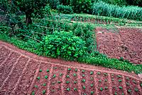 Orchard, reed, El Figaro, Catalonia, Spain