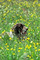 A springer spaniel among buttercups.