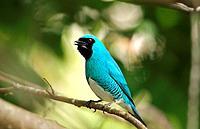 Swallow Tanager, Tersina viridis occidentalis, Azulejo golondrina, Venezuela