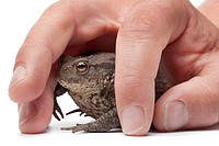 Common toad caught under a hand on white background