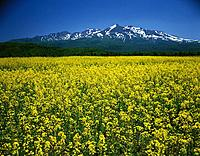 Rape blossom field with a snowcapped Mt. Taisetsu in the background