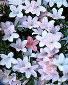 Azalea, close up, Tokyo prefecture, Japan