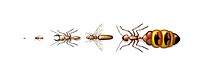 Ant types. Computer artwork showing five different types of ant, ranging from small left to large right.