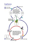 Intestinal capillariasis life cycle. Diagram showing the life cycle of the parasitic nematode roundworm Capillaria philippinensis, the cause of intest...
