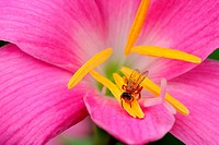 Pink Color flower and honeybee
