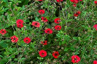 Potentilla ´Gibson´s Scarlet´ flowering in Summer.