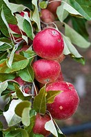 Ripening apples Malus sp. in Summer.
