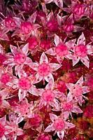 Stonecrop Sedum telephium var Atropurpureum in flower.