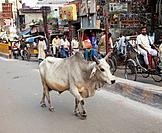 India, Varanasi, Sacred Cows